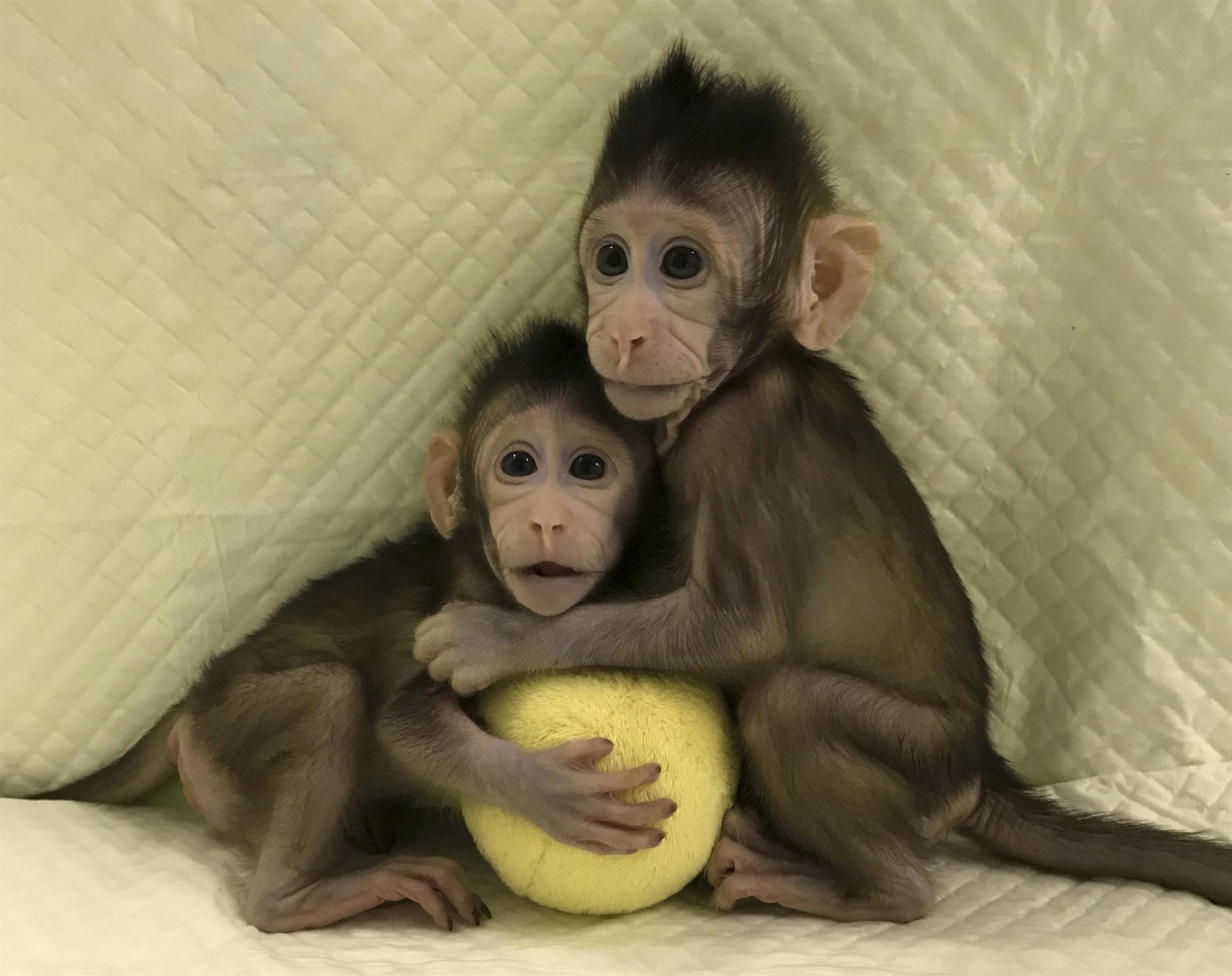 Naučnici klonirali majmune koristeći istu tehnologiju kojom su stvorili ovcu Doli